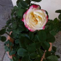 My large rose bush.