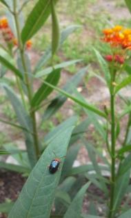 Little beetle on the milkweed
