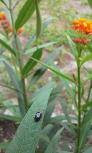 Little beetle on the milkweed