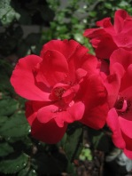 My small rose bush.