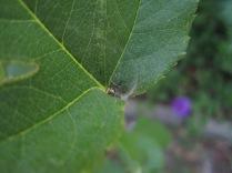 Tiny spider on my large rose bush