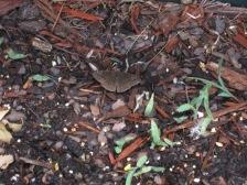 Butterfly hiding in the soil