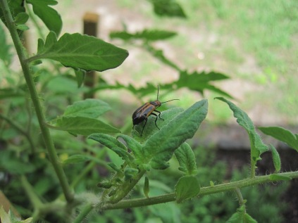 Beetle on the tomatoes