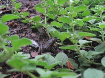 Frog in the oregano