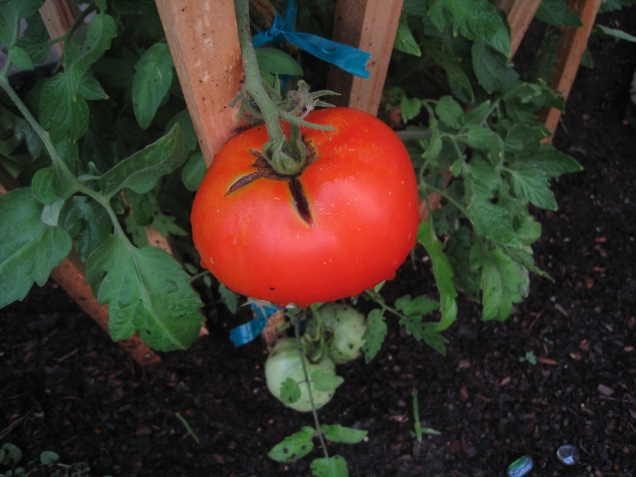 Our first tomato is almost ready to eat!