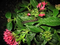 Caterpillar on the pentas