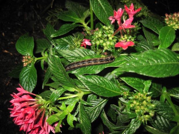 Caterpillar on the pentas