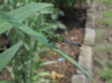 Dragonfly eating a fly