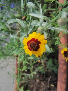 Lovely yellow and maroon flower.