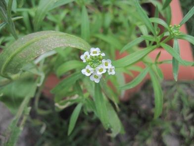 Little white flower cluster.