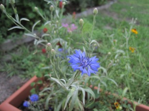 Blue thistle-like flower.