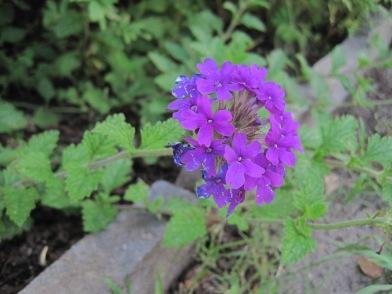 Purple butterfly flowers.