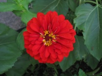 Big red flower with little yellow flowers inside.