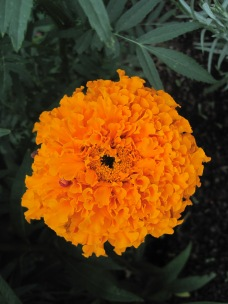 Beautiful orange flowers that the bees love.