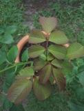 My large rose bush is preparing to bloom again soon!